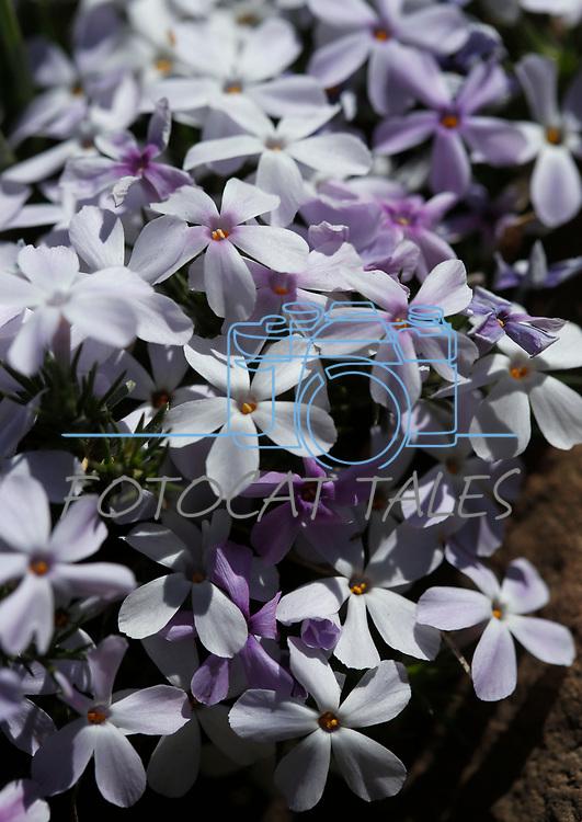 Phlox blooms along the Leviathan Peak Loop, near Markleeville, Ca., on Saturday, July 7, 2019.<br /> Photo by Cathleen Allison/Nevada Momentum
