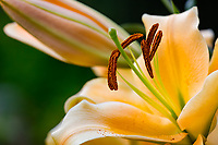 Vashon Island, WA: 'Eudoxa' - Orienpet Hybrid Lily