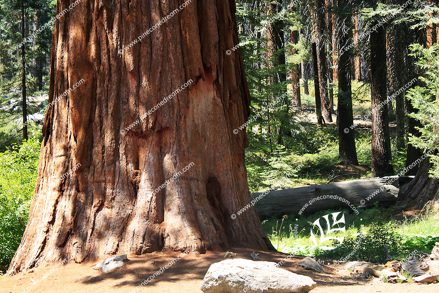 Stock photo: Bark of a giant sequoia tree standing in the forest of the Sequoia national park.