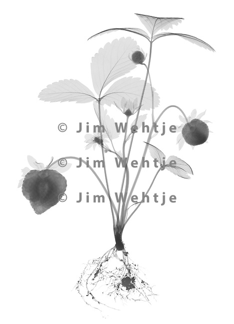 X-ray image of a strawberry plant (black on white) by Jim Wehtje, specialist in x-ray art and design images.