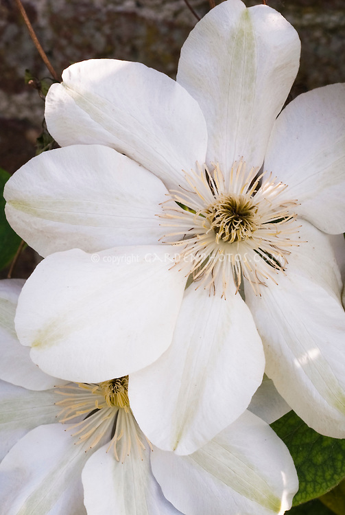 White flowers of climbing vine Clematis 'Guernsey Cream'