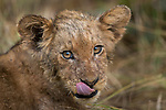 African Lion (Panthera leo) cub licking chops, Kafue National Park, Zambia