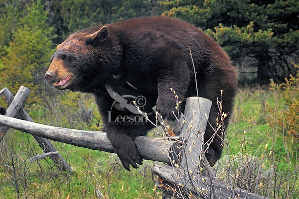 Black Bear in brown color phase climbing fence in farmland..Spring. Rocky Mountains..(Ursus americanus).