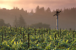 Vineyard at sunrise in the Napa Valley, near St. Helena, Napa County, California