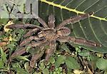Chevron Tarantula (Psalmopoeus cambridgei), Trinidad.