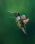 In Flight - Magnificent Hummingbird