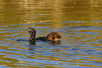 Sea Otter (Enhydra lutris) pup learning to swim.