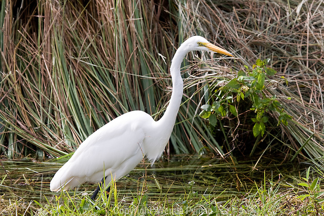 The Great Egret slowly and methodically stalks its prey.