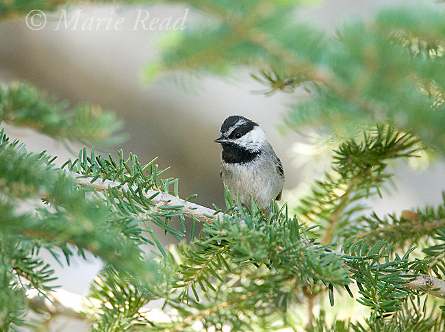 Mountain Chickadee (poecile gambeli), Sequoia National Forest, California, USA