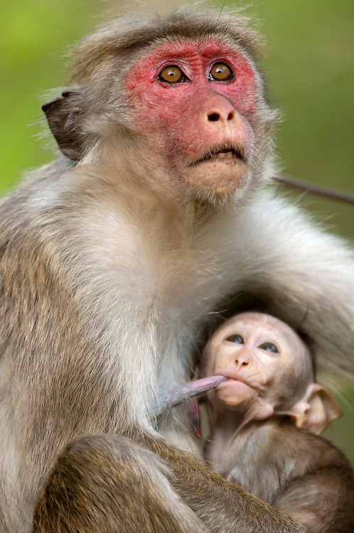 A female toque macaque looks upwards whilst her baby, around 6 weeks old, suckles. She has a red face that develops in females with age. Archaeological reserve, Polonnaruwa, Sri Lanka. IUCN Red List Classification: Endangered