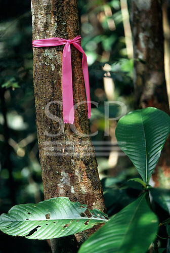 Makande, Gabon. Tree marked with a purple ribbon marker in the rainforest.