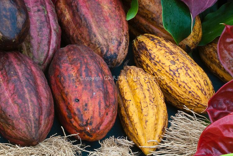 Cacao Cocoa beans Theobroma cacao