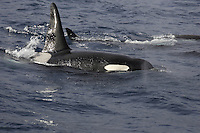 Killer whale Orcinus orca Young male surfacing in  family group. Jan Mayen, Greenland sea