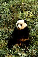 Famous panda at Shanghai zoo in Chin