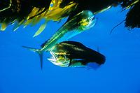 game fish, mahi mahi, dorado or dolphin fish, Coryphaena hippurus, in kelp in open ocean off San Diego, California, USA, East Pacific