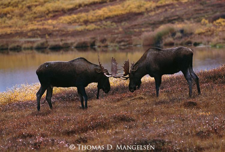 Two bull moose spar in Alaska.