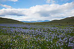 Idaho, South Central, Fairfield. Camas lilies growing along a fenceline with the Soldier Mountains distant.