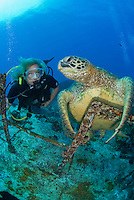 Diver and green sea turtle (Chelonia Mydas) at the st Anthoys wreck Maui Hawaii.