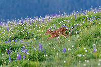 Columbian black-tailed deer (Odocoileus hemionus columbianus) fawn walking through subalpine meadow covered with lupine and bistort wildflowers.  Pacific Northwest.  Summer.