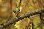 Tufted titmouse - Baeolophus bicolor<br />