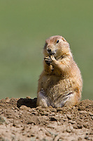 Prairie dog biting its' nails