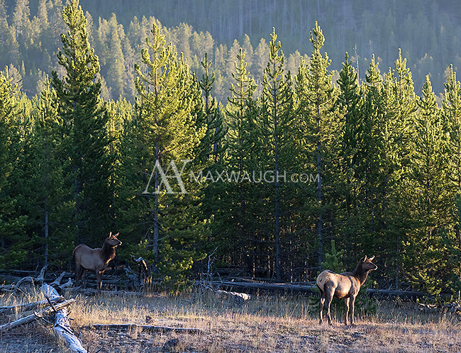 Elk calves look for a way to join the rest of the herd on the other side of the road.