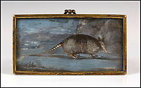 A for Armadillo - First image of the exotic animal in Britain revealed.