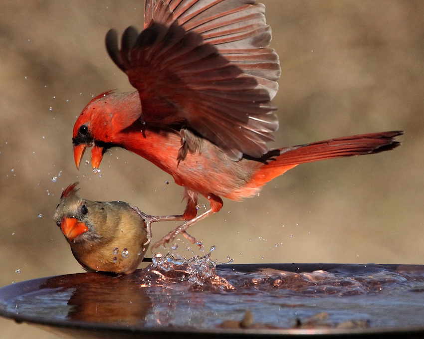 Male Cardinal exhibiting some aggressive behavior towards the female.