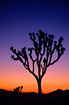 Joshua Tree National Park Joshua tree silhouetted at sunset Southwestern California USA