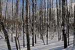 Birch tree forest in northern Wisconsin after new fallen snow.