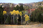 Bright yellow quaking aspen trees stand bold against green Ponderosa pine trees along with a palette of other autumn colors at the west entrance of Yellowstone National Park, Montana