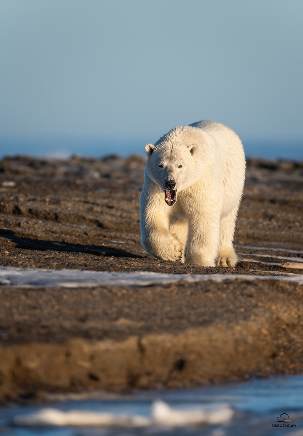 Got very low on the front of the boat to capture this eye-level view of a big male Polar Bear (Ursus maritimus). He was just yawning, but never took his eyes off us as he approached us, displaying those big teeth.