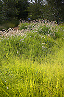 Urban park landscape design meadow garden, with fresh green flowering grass groundcover lawn substitute, Pennisetum 'Tall Tails' in Jeffrey Open Space, Irvine California