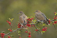 White-winged Dove (Zenaida asiatica), adults perched on Firethorn (Pyracantha coccinea), with berries, Hill Country, Texas, USA