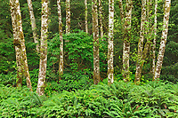 Alders on Rennell Sound. Graham Island. , Haida Gwaii (formerly the Queen Charlotte Islands), British Columbia, Canada