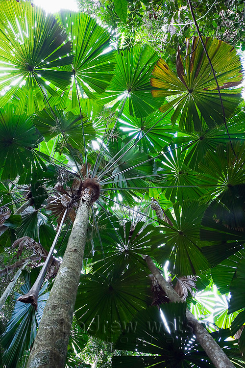 Licuala palm rainforest at Cape Tribulation, Daintree, Queensland, AUSTRALIA