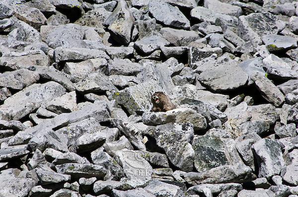 Hoary Marmot (Marmota caligata).  Cascade Mountains, Pacific Northwest.  Summer.