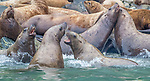 USA, Alaska, Glacier Bay National Park, Steller sea lions