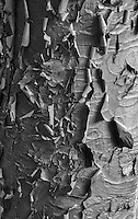 Paperbark Maple abstract