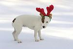Jack Russel Terrier with red  Christmas reindeer antlers.