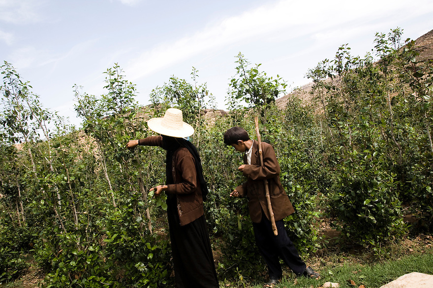 Yemen - Farmers collecting qat. Yemen's economy depends heavily on oil production, and its government receives the vast majority of its revenue from oil taxes. Yet analysts predict that the country's petroleum output, which has declined over the last seven years, will fall to zero by 2017. The government has done little to plan for its post-oil future. Yemen's population, already the poorest on the Arabian peninsula and with an unemployment rate of 35%, is expected to double by 2035..The trends will exacerbate large and growing environmental problems, including the exhaustion of Yemen's groundwater resources. Given that a full 90% of the country's water is used for agriculture, this trend portends disaster..Sanaa's well are expected to dry out by 2015, partly due to illegal drilling, partly because 40% of the city's water is diverted for qat production, and partly because conservation rules are difficult to enforce. Only 20% of the houses receive water, the other 80% has to collect it from pumps and wells. 15% of the urban population only uses bottled water as its primary drinking water source and that is why Yemen has one of the highest world mortality rate, most of the diseases being related to water..