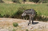 Grant's Zebra, Equus quagga boehmi, in Tarangire National Park, Tanzania