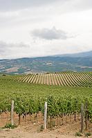 Brunello vineyards in Montalcino..Vigneti di Brunello a Montalcino