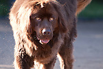 Cuchulainn, the Expectant Brown Newfoundland Dog
