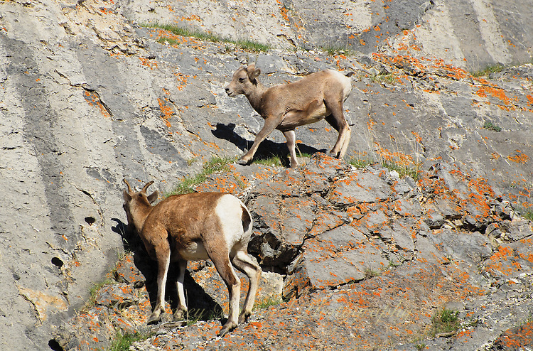 Baby big horn just getting up from a nap high in the mountain cliffs in Jasper National Park