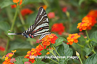 03006-003.02 Zebra Swallowtail (Eurytides marcellus) on Red Spread Lantana (Lantana camara) Marion Co.  IL
