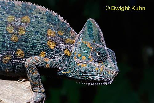 CH51-676z  Female Veiled Chameleon in display color, Chamaeleo calyptratus