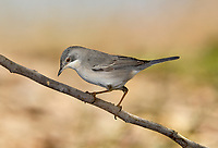 Ruppell's Warbler - Sylvia rueppelli<br /> female