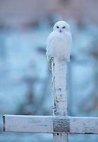 A Snowy Owl hunts from the top of a tombstone on a snowy fall morning.  Snowy Owls prefer to hunt from elevated perches which can be in short supply on the flat tundra.