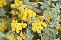 Southern Bird's-foot Trefoil - Lotus creticus